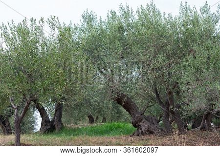 Olive trees garden. Mediterranean farm ready for harvest. Italian olive's grove with fresh green olives.
