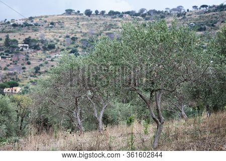 Olive garden with old trees. Mediterranean farm ready for harvest. Italian olive's grove with fresh green olives.
