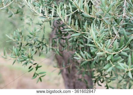 Olive trees garden. Mediterranean farm ready for harvest. Italian olive's grove with fresh green olives. Branches