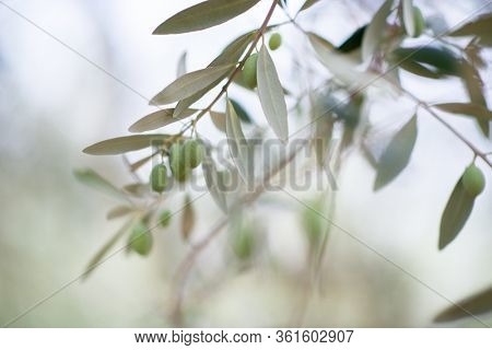 Olive trees garden. Mediterranean farm ready for harvest. Italian olive's grove with fresh green olives. Branch with ripe fruit, soft focus