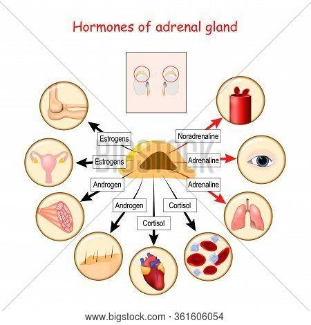 Hormones Of Adrenal Gland And Human Organs That Respond To Hormones. Cortisol, Androgen, Adrenaline,
