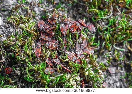 A Colony Of Firebugs Sitting On A Stunted Green Plant, Swarm And Potter There. Named Pyrrhocoris Apt