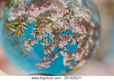 Lovely, slightly distorted view of cherry blossoms during springtime. Shallow depth of field.