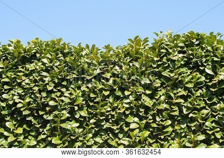 Evergreen Hedge Of Cherry Laurel Shrubs On A Sunny Day In Early Springtime