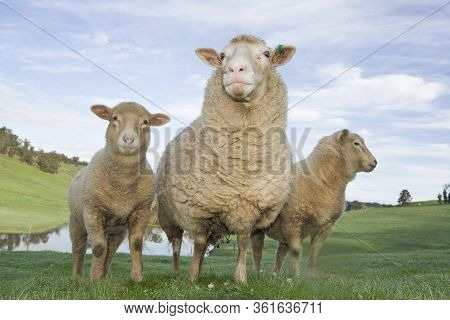 Three Woolly Sheep In The Australian Countdyside.
