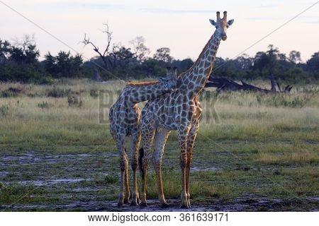 Angolan Giraffe (giraffa Camelopardalis Angolensis), Also Known As The Namibian Giraffe, A Pair Of G