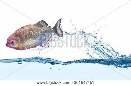 Beautiful Shiny Piranha Fish In Clear Water