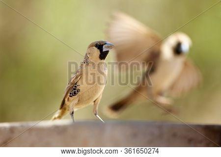The Sociable Weaver (philetairus Socius), Also Commonly Known As The Common Social Weaver, Common So