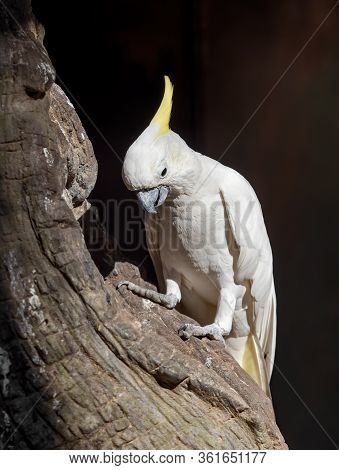 Closeup Yellow Crested Cockatoo Perched On Branch Isolated On Background