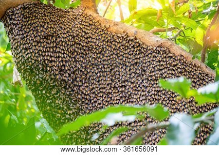 Many Bees Live In A Nest On A Tree In A Natural Forest With A Large Nest.