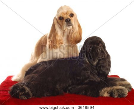 Two Cocker Spaniels On Red Bed