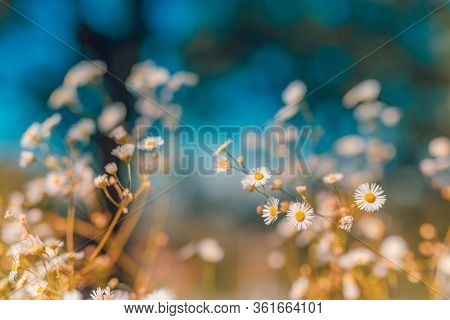 Beautiful Wild Flowers Chamomile, Blur Blur Nature Meadow And Trees In Sunset Closeup. Nature Close-