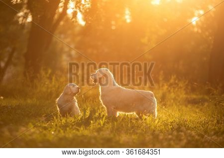 Two Dogs Together In Park. Golden Retriever And Clumber Spaniel. Love Between Pets