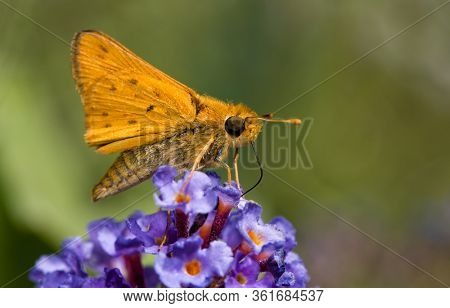 Tiny Fiery Skipper butterfly getting nectar from a purple Buddleia flower