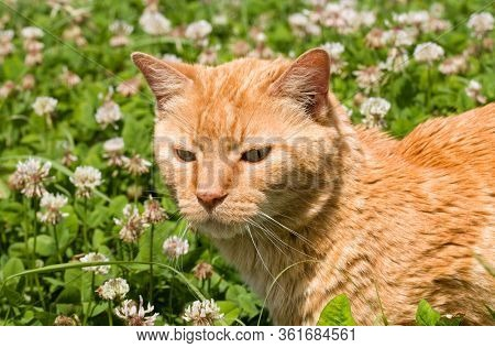 Ginger tabby cat walking in tall clover among white flowers on a sunny summer day