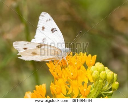 Checkered White butterfly feeding on a yellow Butterflyweed flower
