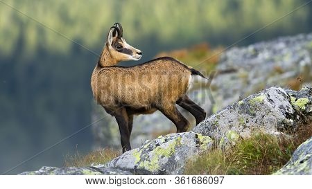 Alert Tatra Chamois Standing On Rocky Horizon In Mountains And Looking Behind