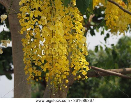 Golden Shower Tree, Yellow Color Flowers Cassia Fistula, Ratchaphruek Full Blooming Beautiful In Gar
