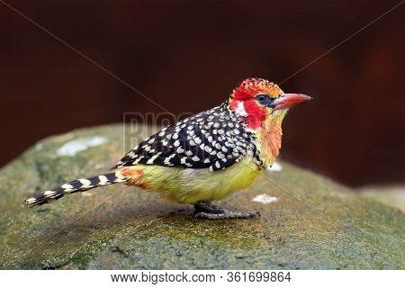 The Red-and-yellow Barbet (trachyphonus Erythrocephalus) On The Stone.
