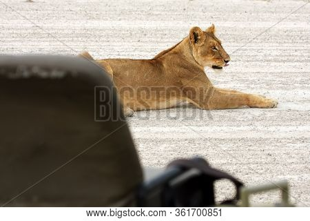 Lioness, African Lion, (panthera Leo), Female Lying On A Sandy Path. Lioness With Guide Car In The F
