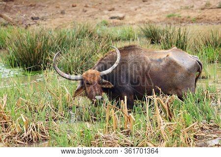 The Wild Water Buffalo ( Bubalus Arnee), Also Called Asian Buffalo, Asiatic Buffalo And Arni Or Arne