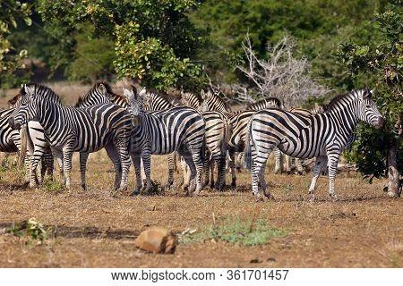 The Plains Zebra (equus Burchellii), Also Known As The Common Zebra Or Burchell's Zebra. Herd Of Zeb