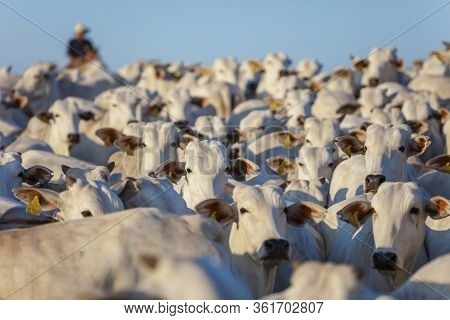 Large Herd Of Nellore Cattle On The Farm, Cows And Steers