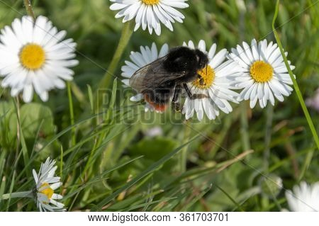 A Close Up View Of A Bumble Bee Collecting Pollen Off Small Daisy Flowers In A Open Public Park