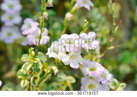 Ganges Primrose, Ganges River Asystacia Or Chinese Violet Flower