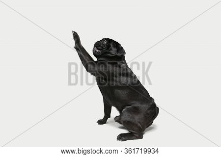 Pug-dog Companion Is Posing. Cute Playful Black Doggy Or Pet Playing Isolated On White Studio Backgr