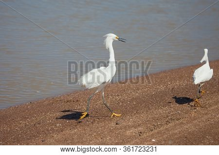 Snow Heron Chasing A Rival Along The Sandy Bank Of The River On A Clear Sunny Day. Animals, Birds, O