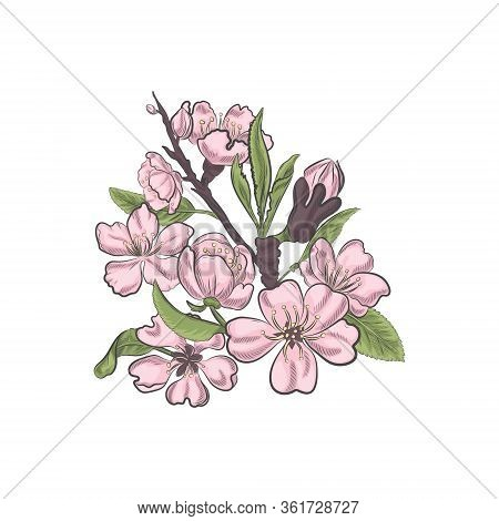 Pink Floral Blossom Of Almond Tree Isolated On White Background. Spring Blooming Closeup Vector Sket