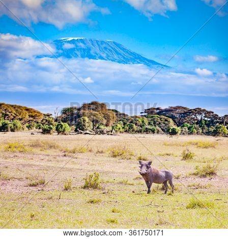 Phacochoerus Known As Warthogs Pig Family Animal Over Kilimanjaro Mountain In Kenya Savanna, Africa