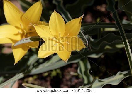 Flower Of The Tulip Tulipa Kolpakowskiana