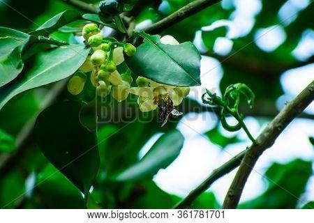 A Small Bee Is Eating Lemon Flower Honey.