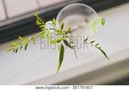 Indoor Gardening Concept, Tiny Branches In Pot With Water For Plant Propagation Shot Indoor Next To