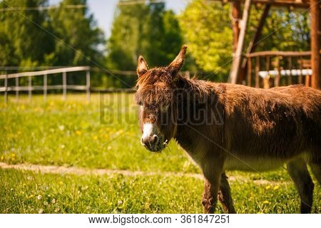 The Brown Donkey Looks Into The Frame. A Small Donkey On A Farm In The Bright Sun. Close Up