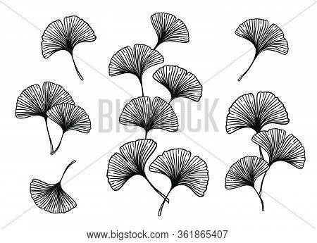 Ginkgo Or Gingko Biloba Leaves And Branches Set. Nature Botanical Vector Engraving Illustration, Her