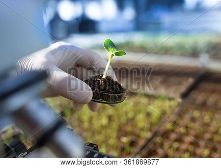 Biologist Holding Sprout With Soil In Petri Dish In Laboratory