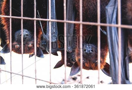 Caged Flying Foxes Bats Upside Down At A Market For Food And Eating, Sumatra, Indonesia