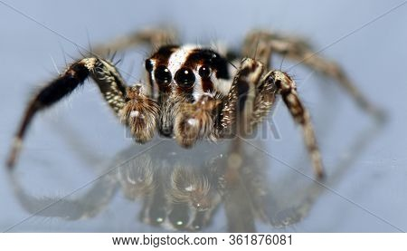 Spider Arthropod Weaving A Hairy Web With Four Front Eyes