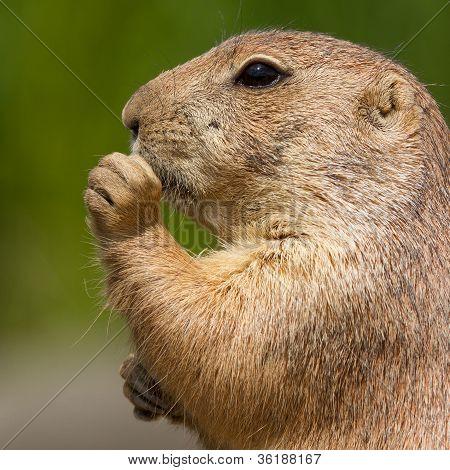 Cute Prairie Dog Eating