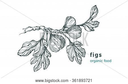 Figs Branch. Vector Nature Tree, Raw Fruit, Leaves On White Background. Art Hand Drawn Sketch, Illus