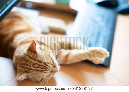 Beautiful young ginger cat well-fed and satisfied sleeps at home working place near keypad. Cute red kitten with classic marble pattern lies on table. Stay home, work home, quarantine