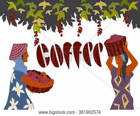 Women Pick Coffee Beans From The Bush On Plantation And Coffee Lettering.