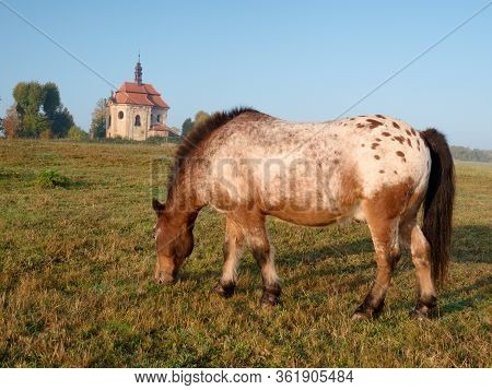 Appaloosa Pony Which Has Been Clipped Stands In A Paddock. Village Farm