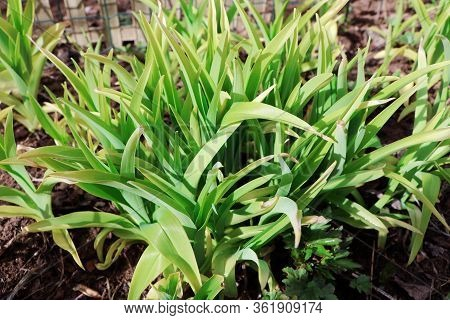 Leaves Of Daylily In The Early Spring. Sprout Of Daylily. Spring Time