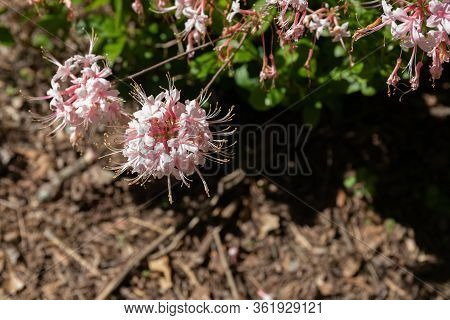 Wild Azalea, Native American Flowering Shrub, Blooms With Selective Focus And Copy Space, Horizontal