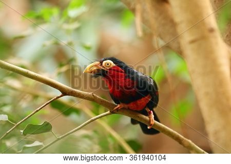 The Bearded Barbet (lybius Dubius) Sitting On The Branch.big Red Barbet In Tropical Forest With Gree