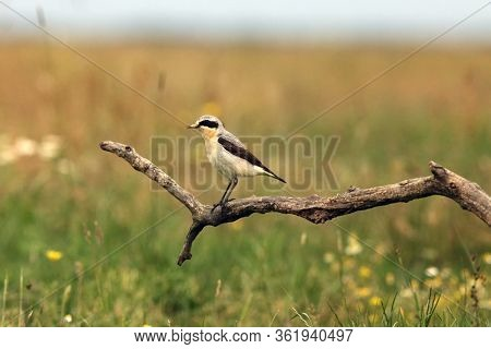 The Northern Wheatear Or Wheatear (oenanthe Oenanthe) Sitting On The Branch. Passerine With The Gree